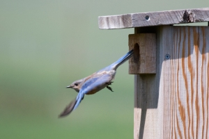 Western Bluebird using Nest Box. Brood unknown.