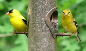 American_Goldfinch-27527