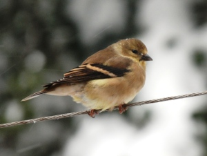 Carduelis_tristis_(American_Goldfinch)_in_Fairfax,_Virginia
