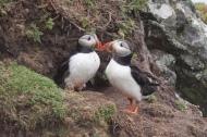 Fratercula_arctica_-Skomer_Island,_Wales_-two-8